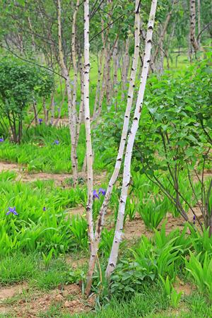 garden features: birch in a park, closeup of photo Stock Photo