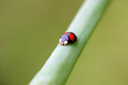 entomology: Lady beetles on plant leaves, closeup of photo