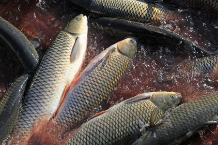 cyprinoid: carp in the pond Stock Photo