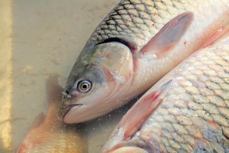 carp in the pond Stock Photo