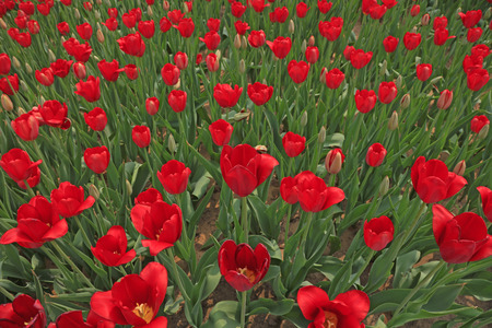 Tulips flowers in the garden