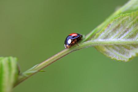 Lady beetles on plant leaves, closeup of photo