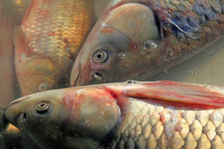 cyprinoid: carp in the pond Stock Photo