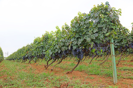 cabernet: Cabernet sauvignon grapes planting base, China