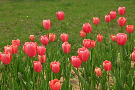 garden features: Tulips flowers in the garden