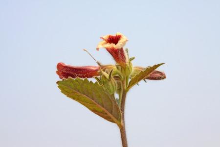 アカヤジオウ 写真素材