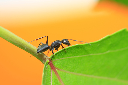 Camponotus japonicus on plant in the wild