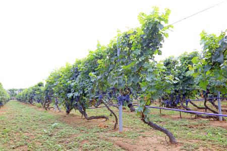 sauvignon: Cabernet sauvignon grapes planting base, China