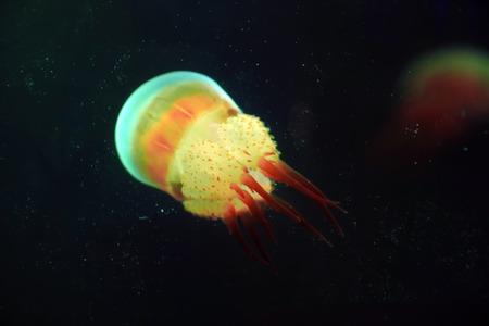nettle jellyfish