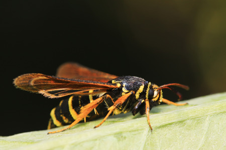 Aegeriidae insects on plant in the wild