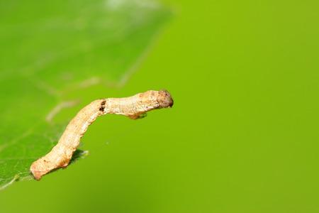 Geometridae on plant in the wild