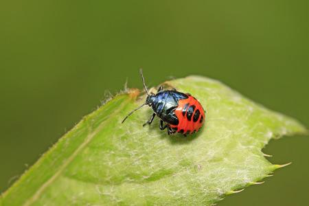 shieldbug: Zicrona caerulea on plant in the wild Stock Photo