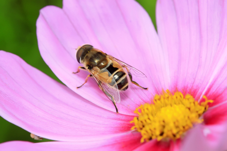 syrphidae: Syrphidae on plant in the wild