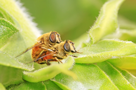 sexual intercourse: Syrphidae on plant in the wild