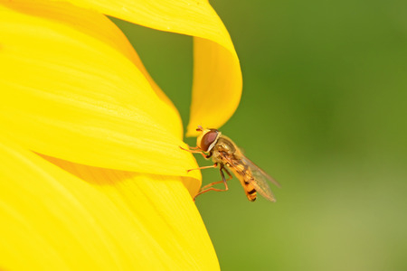 syrphidae: syrphidae gather nectar from flowers Stock Photo