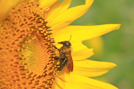 Xylocopa appendiculata on sunflowers in the wild