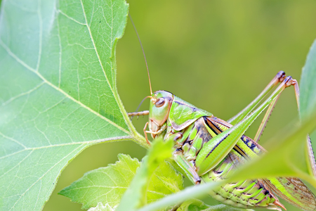 longhorned: longhorned grasshoppers on green leaf in the wild