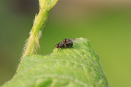 original ecological: two muscidae insects mating on green leaf in the wild