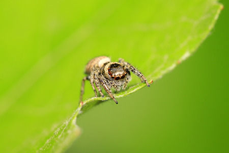 jumping spider on plant in the wild Stock Photo