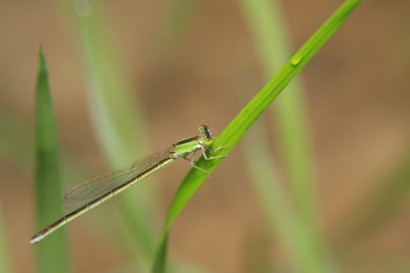 Damselfly on green leaf in the wild