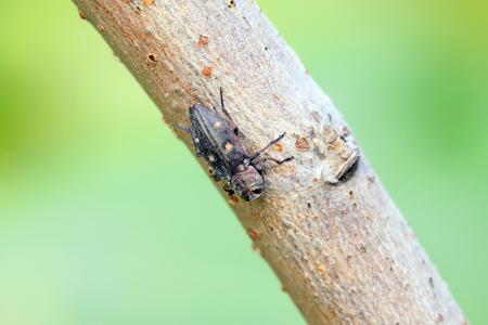 Buprestidae in a natural environment, closeup of photo