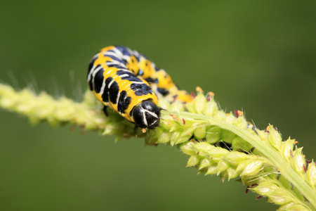 Cucullia fraterna on green leaf in the wild Stock Photo