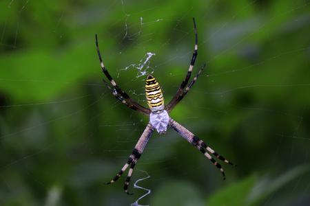 Argiope bruennichi larvae on a spider web