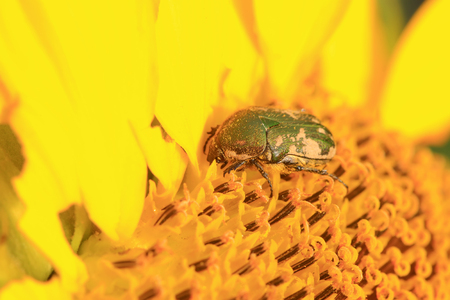 chafer on green leaf in the wild