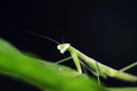 Mantis larvae on plant in the wild