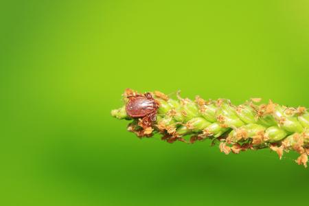 ticks on plant in the wild Stock Photo