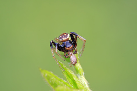 crab spiders catch and feed on weevil in the wild