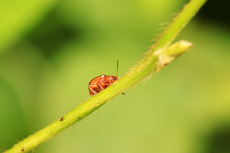 coleoptera: leaf beetle on plant in the wild Stock Photo
