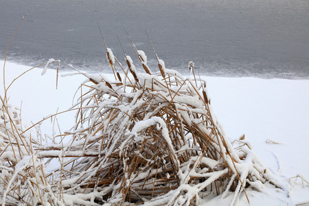 rushes: Rushes in the snow