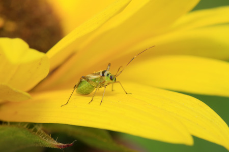stinkbug on green leaf in the wild Stock Photo