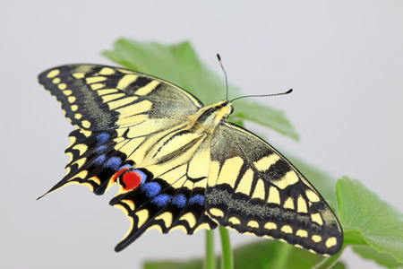 Papilio machaon on green plant in the wild