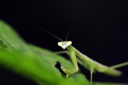 Mantis larvae on plant in the wild