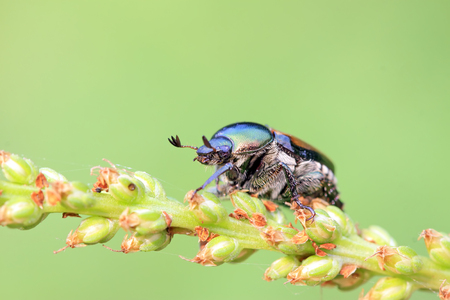 popillia insects on flowers in the wild Stock Photo