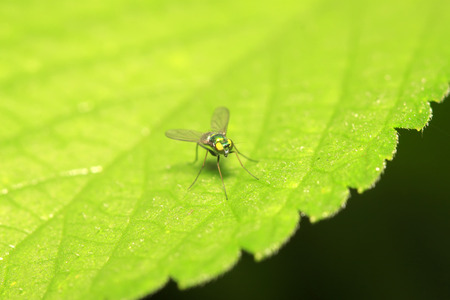Dolichopodidae insect on plant in the wild