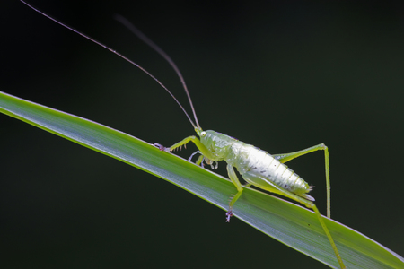longhorned grasshoppers nymphs on green leaf in the wild Stock Photo