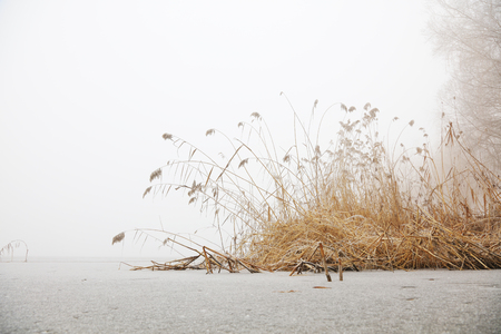 reed by river in winter Stock Photo
