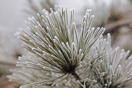 Cedar in frost and snow