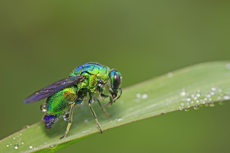 luster: Chrysis shanghaiensis on green leaves in the wild