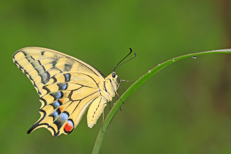 야생에서 녹색 식물에 Papilio machaon