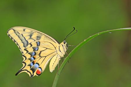 Papilio machaon op groene plant in het wild Stockfoto