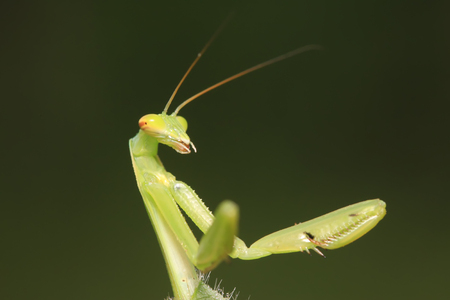 beneficial insect: Mantis larvae on plant in the wild