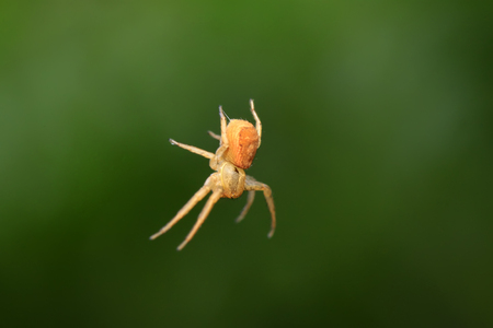 beneficial insect: crab spider on plant in the wild