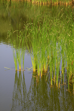 rushes: Rushes in the pond