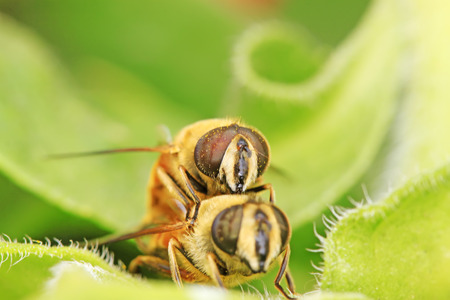 sexual intimacy: Syrphidae on plant in the wild
