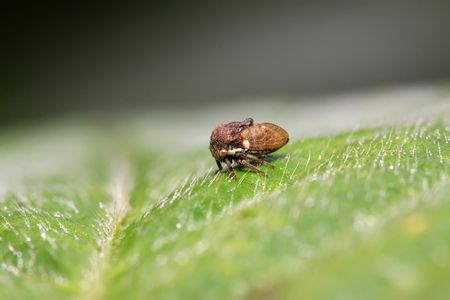 latent: Membracidae insects on green leaf in the wild Stock Photo