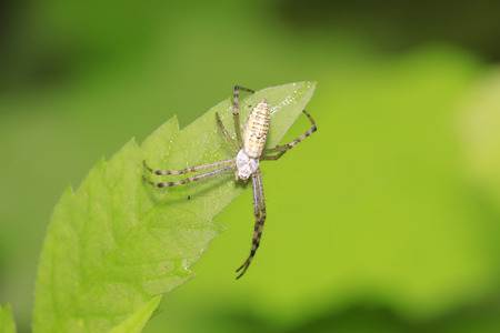 Argiope bruennichi larvae in the wild